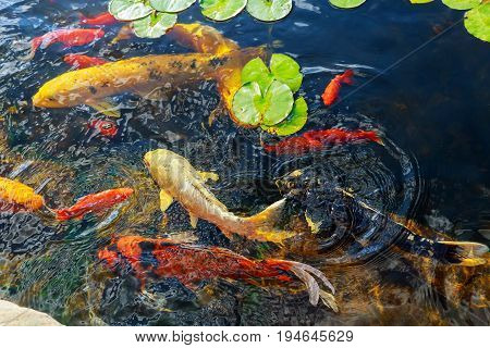Colorful decorative fish The goldfish floats in an artificial pond