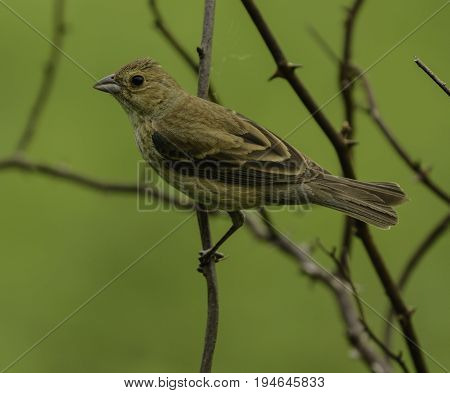 A female Indigo Bunting (Passerina cyanea) perched among thorny branches in Andover New Jersey, USA.
