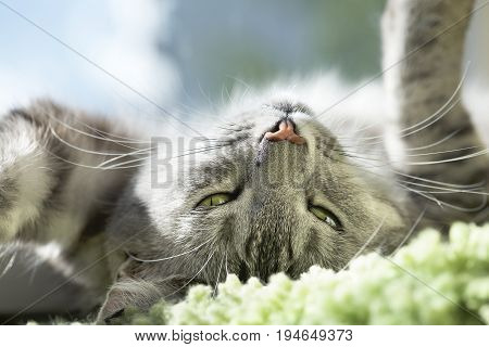 Cat portrait close up. Cat face. Grey kitten looking up, close up. Cat portrait close up, only head crop, looking to the top, cat in light brown and cream looking with pleading stare at the viewer with space for advertising and text, cat head