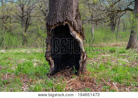 Old Oak With Burned-out Hollow In The Base.