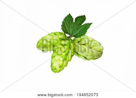 Green hop cones on a white background grown for brewing beer and bread as well as a seasoning for food