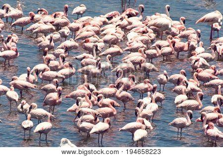 Flock of Flamingo Standing in Water