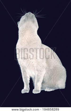 Blue Burmese cat looking up against black background