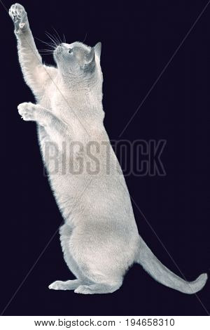 Side view of a blue Burmese cat standing on hind legs against black background