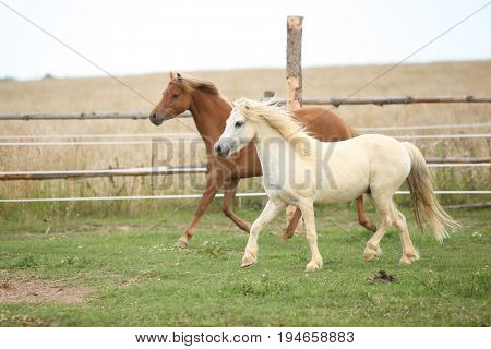 Two Ponnies Together On Pasturage
