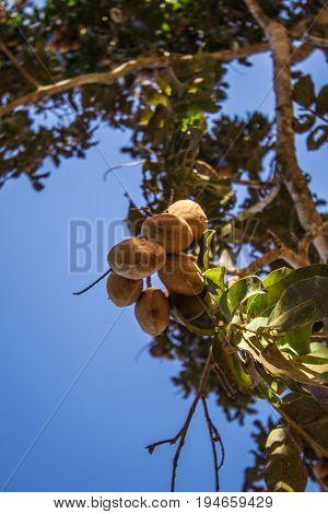 Whole Baru Nut Tree