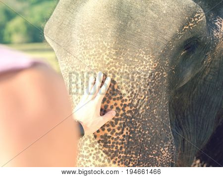 Closeup of a man's hand stroking elephant's head