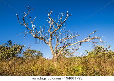 Leafless Tree In Cerrado, Pirenopolis