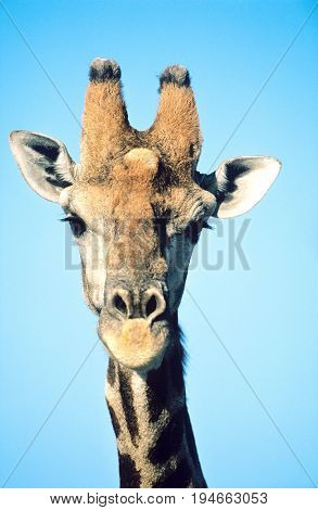 Maasai Giraffe (Giraffa Camelopardalus) close-up