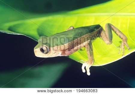 Green Frog on Leaf