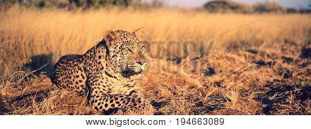 Leopard Lying in Grass