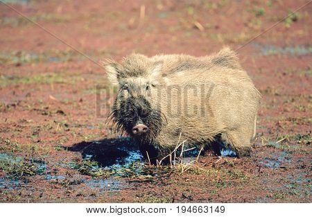Warthog in mud