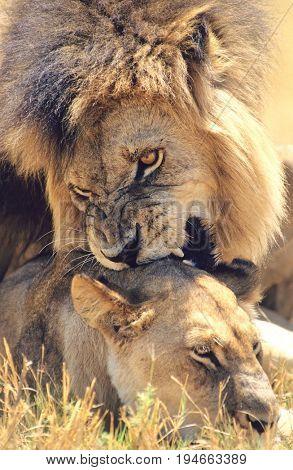 Male Lion biting Lioness on savannah