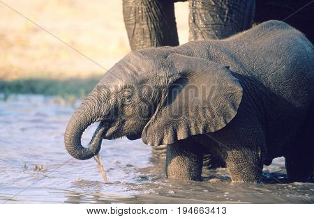 Young African Elephant (Loxodonta Africana) drinking with mother at waterhole