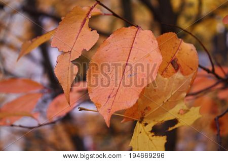 Imperfect peach-colored ash leaves in autumn with yellow leaves and tree branches as background