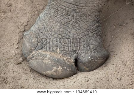 Hoof of the Southern white rhinoceros (Ceratotherium simum simum).