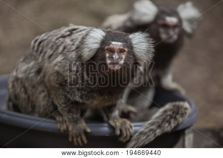 Common marmoset (Callithrix jacchus). Wildlife animal.