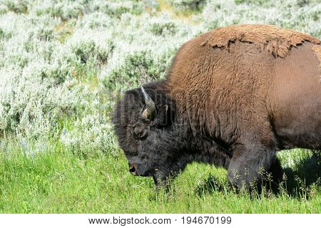 Bison in the Lamar Valley of Yellowstone National Park. An estimated 5,500 in Yellowstone, the only place in the lower 48 to have continuously free-ranging herds since prehistoric times.