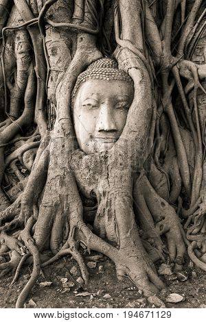 Buddha Head in Tree Roots in Wat Mahathat , Ayuthaya , Thailand. Black and white photo