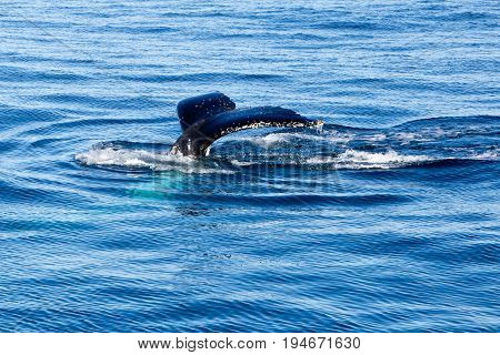 Humpback Whale Diving - Showing Tail