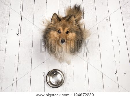 Adult shetland sheepdog seen from above sitting and looking up on a white wooden planks floor with an empty feeding bowl in front of her