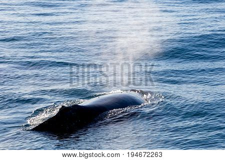 Humpback Whale Surfacing And Spraying Water Through Blowhole