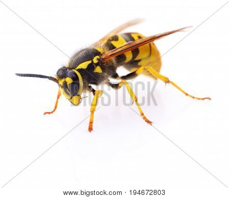 Yellow wasp isolated on a white background.