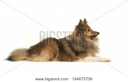 Shetland sheep dog seen from the side on a white background