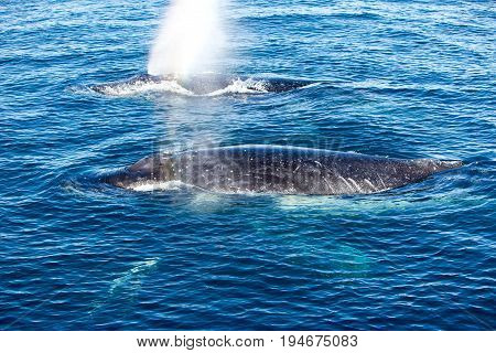 Two Humpback Whales Surfacing And Spraying Water Through Blowhole