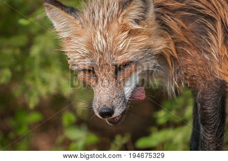 Red Fox Vixen (Vulpes vulpes) With Meat Closeup - captive animal