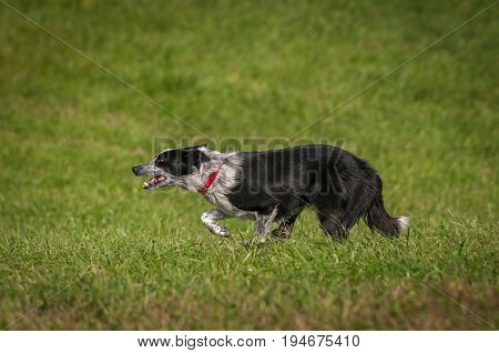 Stock Dog Runs Full Out to Left - at sheep herding trials