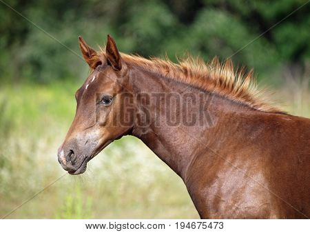 Portrait of a thoroughbred foal on a natural green background