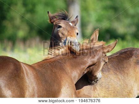 Two nice foals communicate on a pasture