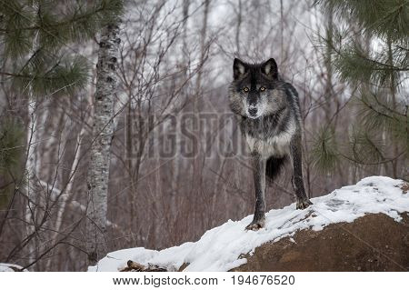 Black Phase Grey Wolf (Canis lupus) Looks Out From Atop Rock - captive animal