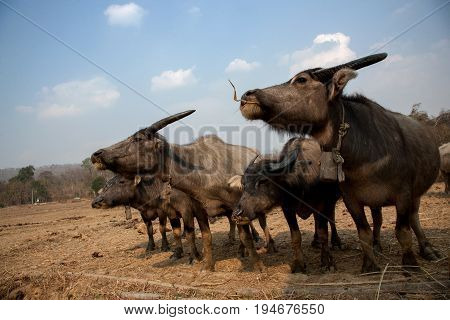 A herd of buffalo in northern Thailand with a blue sky on background