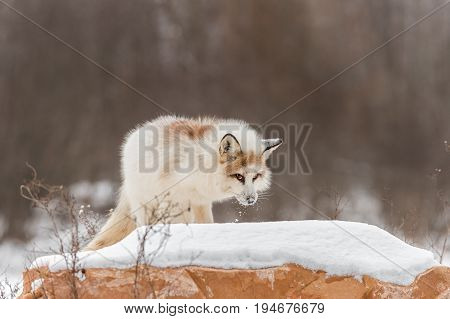 Red Marble Fox (Vulpes vulpes) Looks Up From Rock - captive animal