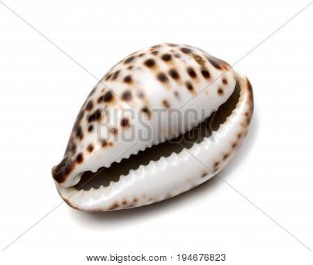 Shell Of Cypraea Tigris
