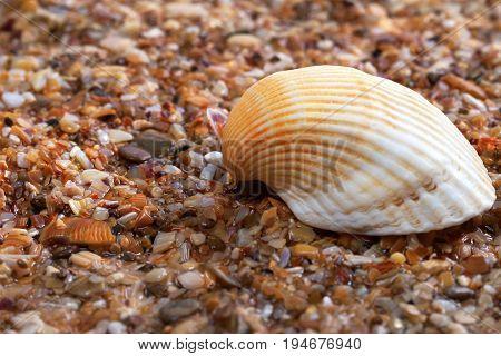 Seashell on wet sand at beach .