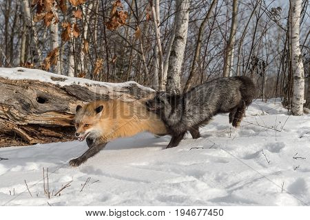 Silver Fox (Vulpes vulpes) Chases After Amber Phase Red Fox - captive animals