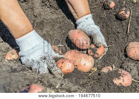Hands in gloves harvesting potatoes in the vegetable garden
