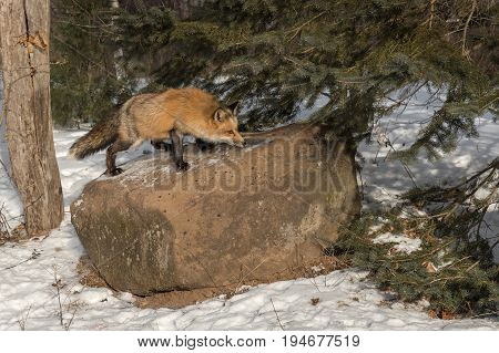 Amber Phase Red Fox (Vulpes vulpes) Sniffs Atop Rock - captive animal