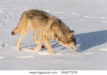 Grey Wolf (Canis lupus) Sniffs to Right in Snow - captive animal