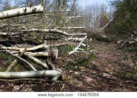 Cut Trees, Wood In The Forest. European Spring