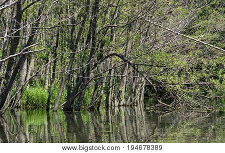 dead trees in flooded summer forest with water reflection