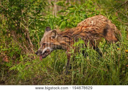 Red Fox Vixen (Vulpes vulpes) Runs Left With Meat - captive animal