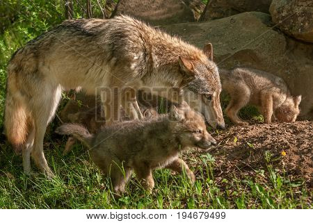 Grey Wolf (Canis lupus) Mother and Pups - captive animals