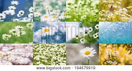 Collage of daisies. Summer bright colorful collage of flowers
