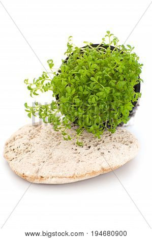 Fresh Cress Salad (lepidium Sativum) On A White Background..