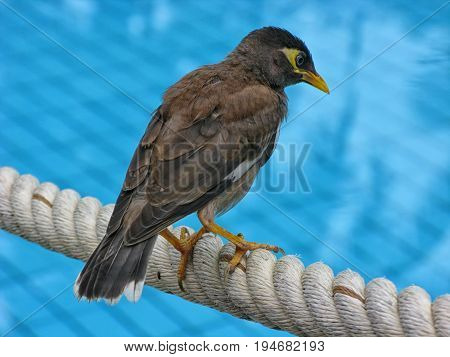 Common Myna bird (Acridotheres tristis) sits on the woven white rope against blue backdrop. View from the back close-up, texture of feathers