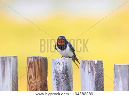 the little bird the barn swallow is sitting on an old wooden fence on a Sunny summer day and sings a song